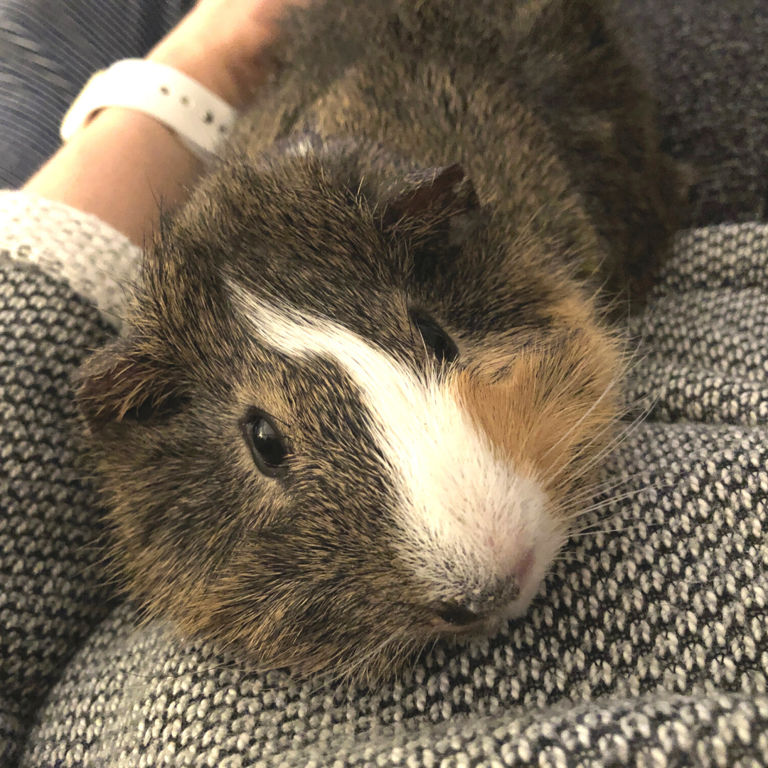 The face of an adorable guinea pig